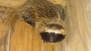 Furão é resgatado em jardim de residência em Schroeder