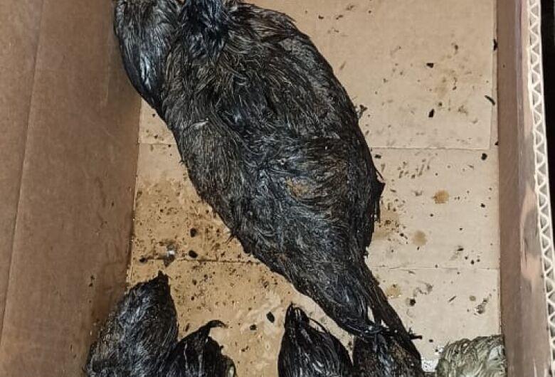 Bombeiros resgatam galinha com filhotes nos escombros de incêndio em Jaraguá