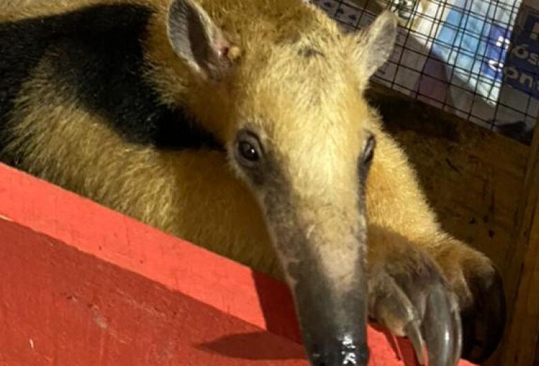 Tamanduá-mirim é resgatado após invadir residência em Schroeder