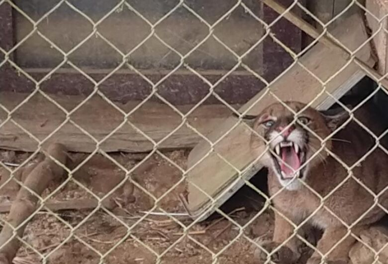 Leão baio invade propriedade e assusta moradores em Ituporanga