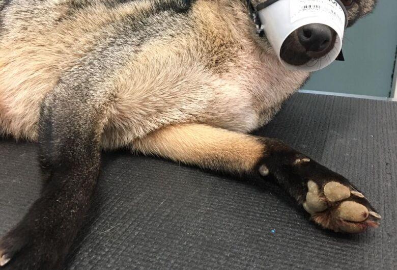 Cachorro-do-mato é resgatado no Baependi mas não sobrevive