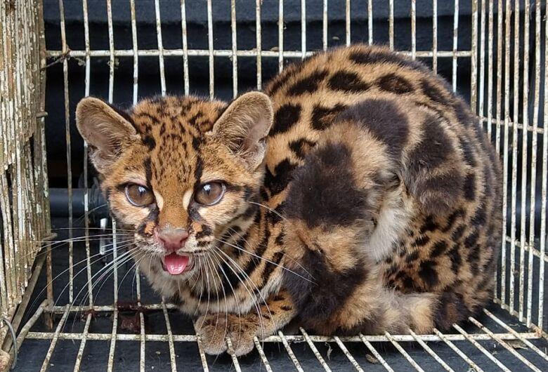 Fujama faz soltura de gato-maracajá resgatado em Schroeder