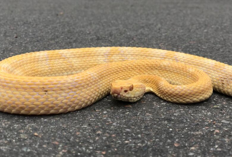 Cobra albina capturada em Jaraguá do Sul será enviada para o Butantan em SP