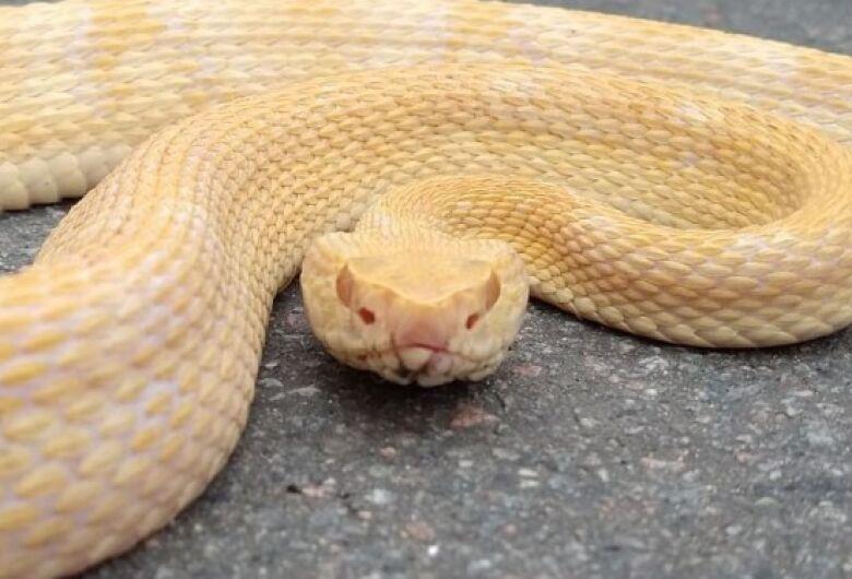 (Fotos) Cobra rara encontrada em Jaraguá do Sul pode ser analisada pelo Butantan