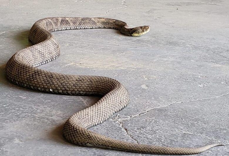 Cobra Jararaca com 1,30 metro é capturada em Jaraguá do Sul