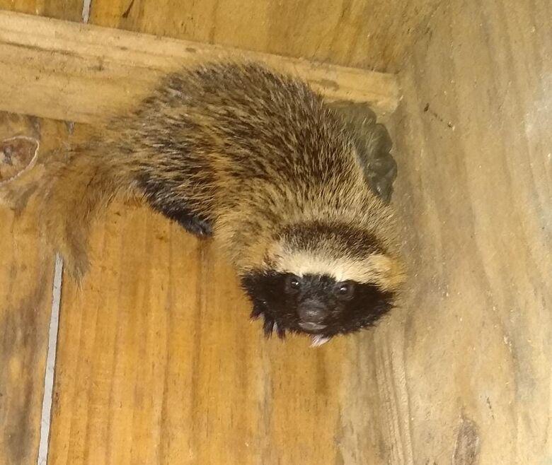 Furão é resgatado em jardim de residência em Schroeder - Crédito: Divulgação Bombeiros de Schroeder