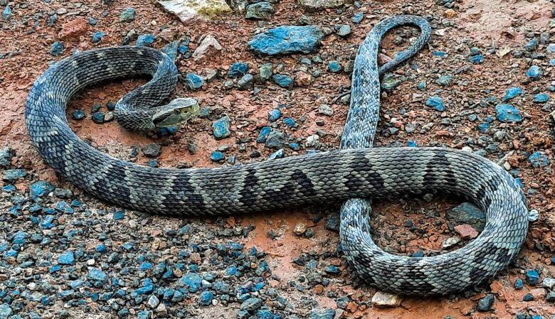 [VÍDEO] Cobra jararaca é capturada em Guaramirim - Crédito: Divulgação Bombeiros de Guaramirim