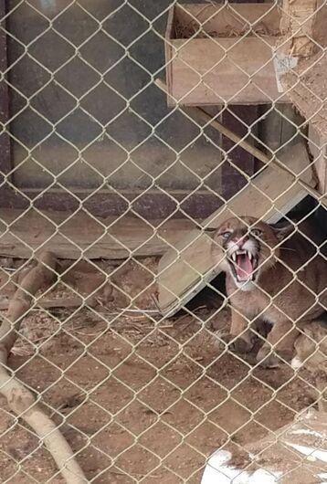 Leão baio invade propriedade e assusta moradores em Ituporanga  - Crédito: Divulgação