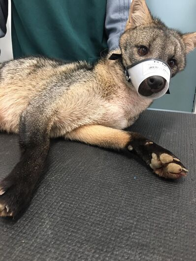 Cachorro-do-mato é resgatado no Baependi mas não sobrevive - Crédito: Divulgação