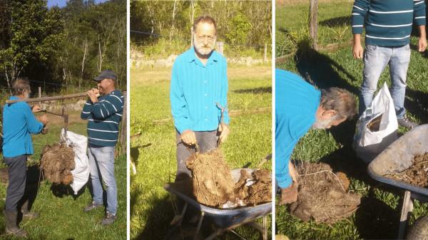 Agricultor de Guaramirim colhe cará que pesou cerca de 36 quilos  -