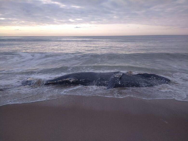 Baleia-jubarte de 7 metros é encontrada morta em Araquari  - Crédito: Divulgação Prefeitura de Araquari