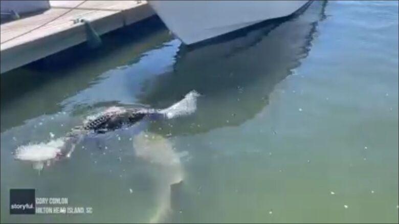 Record turistici che rosicchiano squali che prendono il sole - Credit: Breeding