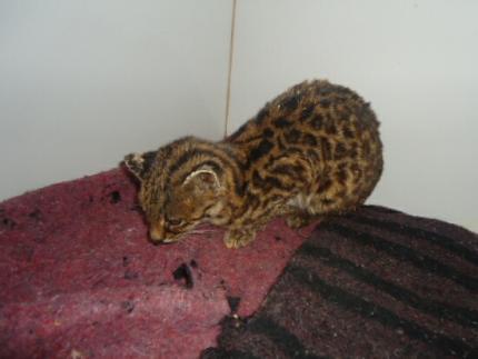 Morre a jaguatirica capturada pelos Bombeiros de Corupá
