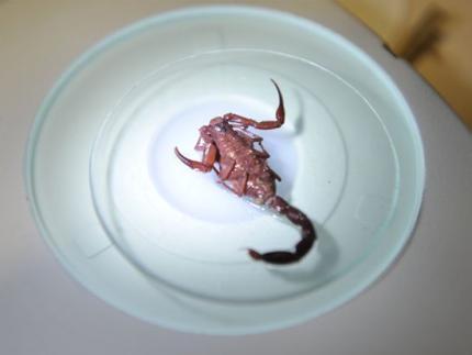 Escorpiões que vivem no centro de Jaraguá vieram na década de 70