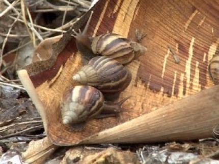 Temperatura elevada e umidade são propícias para o surgimento dos caramujos africanos